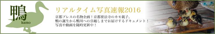 要法寺のカモ親子のお引越し!