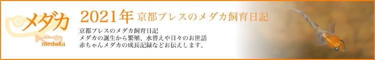 京都プレスメダカ日記 2021年