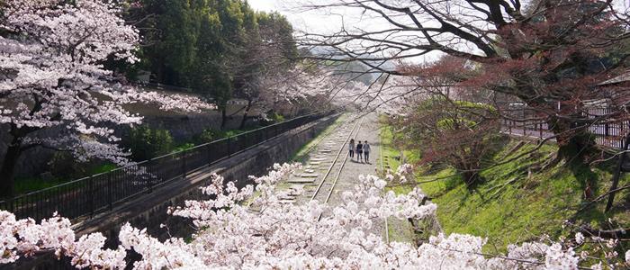 京都のインクラインの桜2015