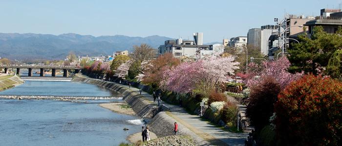 京都の鴨川の桜2017