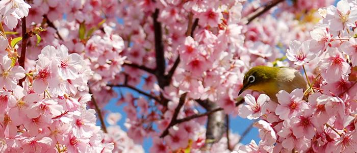 京都の鴨川の桜メジロ