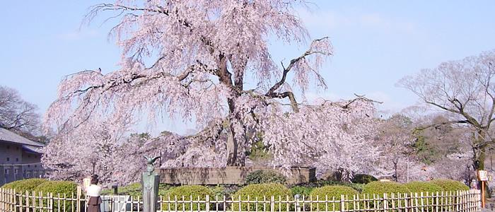 京都の円山公園のしだれ桜2017