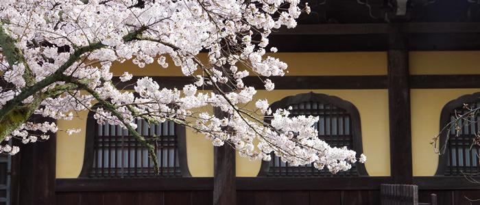 京都の南禅寺の桜2017