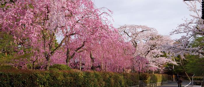 京都の南禅寺周辺の桜2017