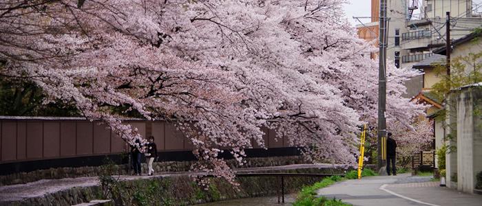白川疏水の桜2017
