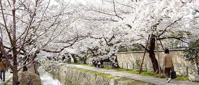 京都の哲学の道の桜2017