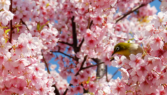 メジロと桜(京都の桜情報)