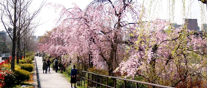 京都桜おすすめ散歩コース
