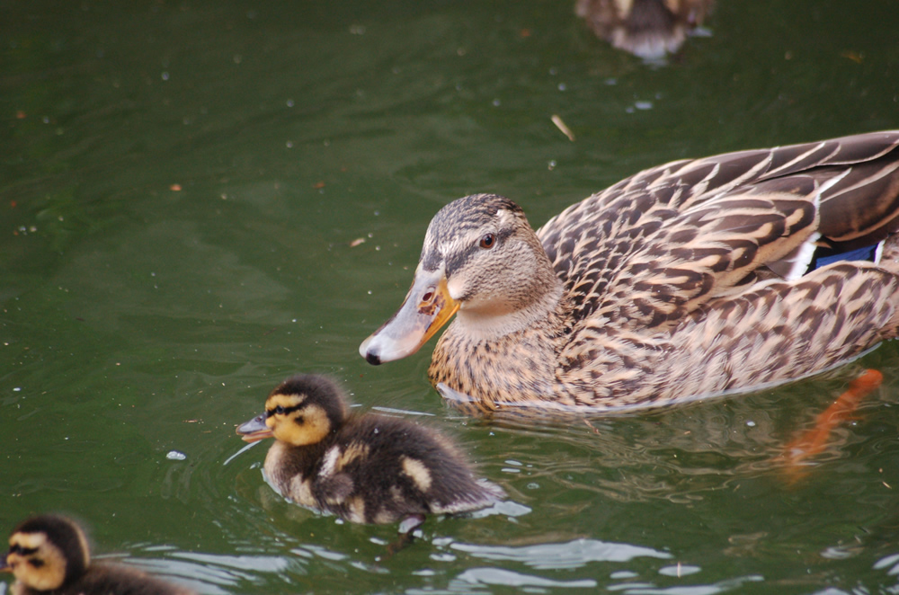 鴨の赤ちゃん(孵化7日目)