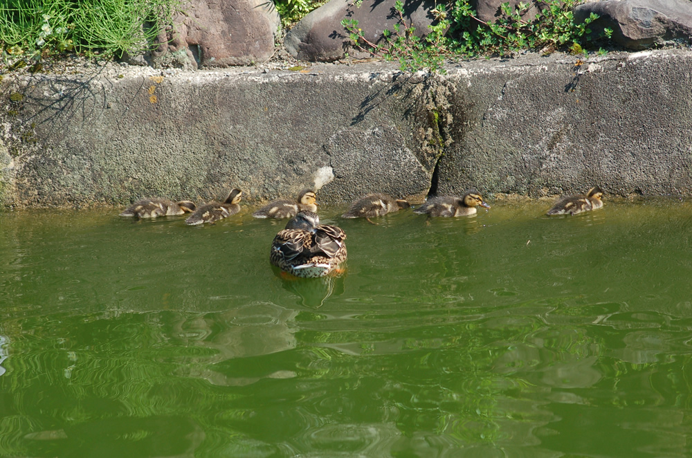 要法寺のカモの赤ちゃん(孵化9日目)0423-03