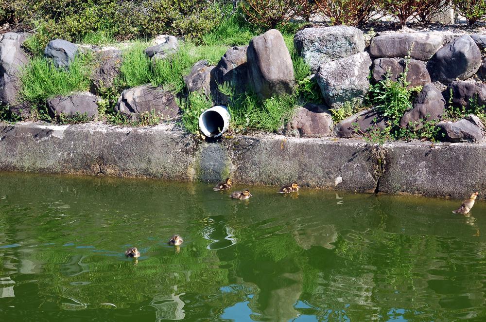 要法寺のカモの赤ちゃん(孵化9日目)0423-12