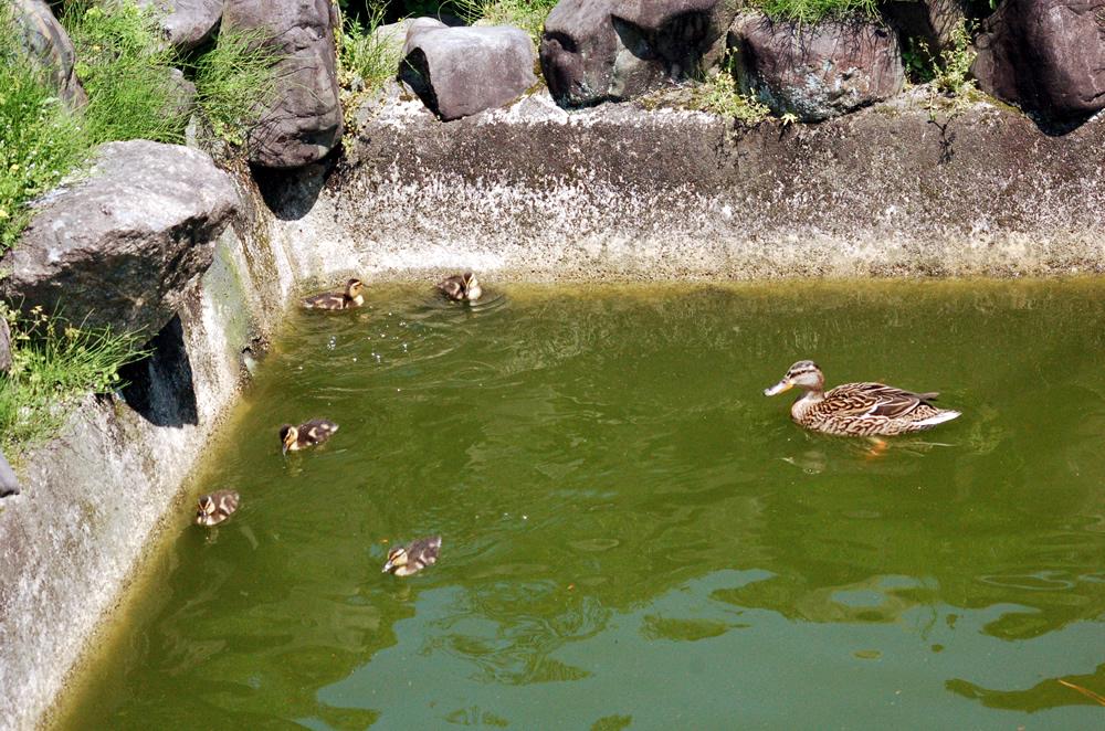 京都要法寺のカモの赤ちゃん0426-01
