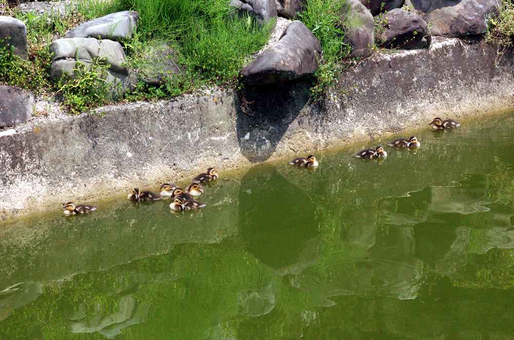 京都 要法寺 カモの赤ちゃん0428-03