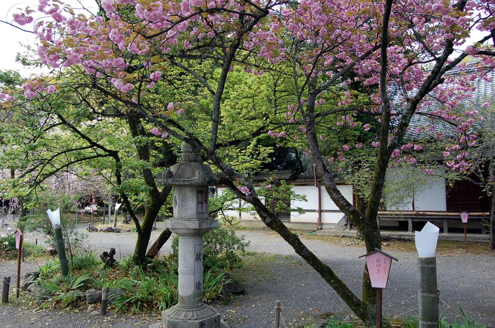おけさ 桜