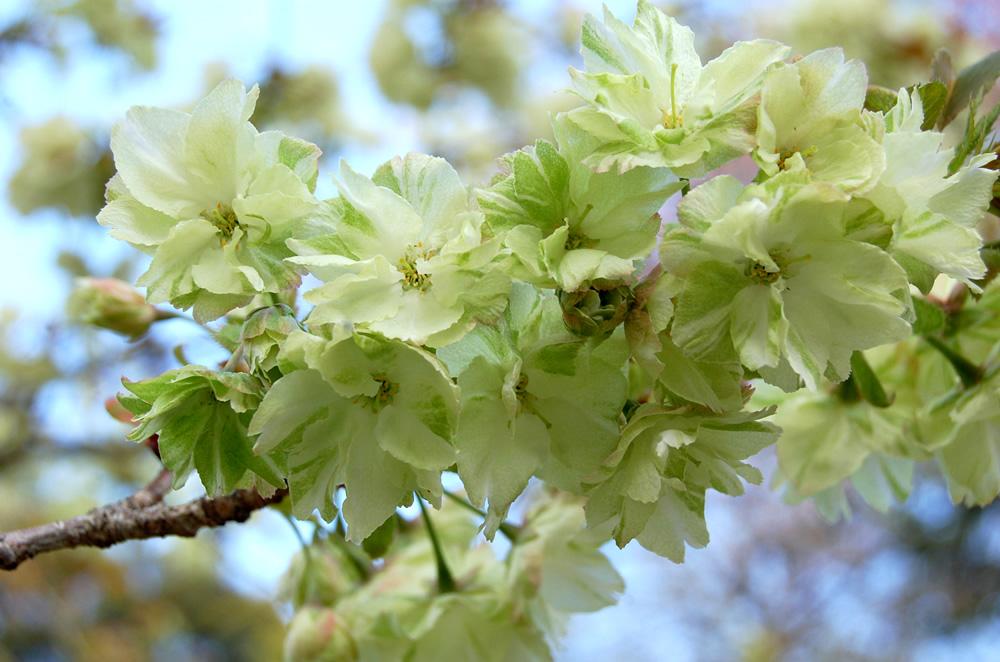 鬱金(うこん) 桜