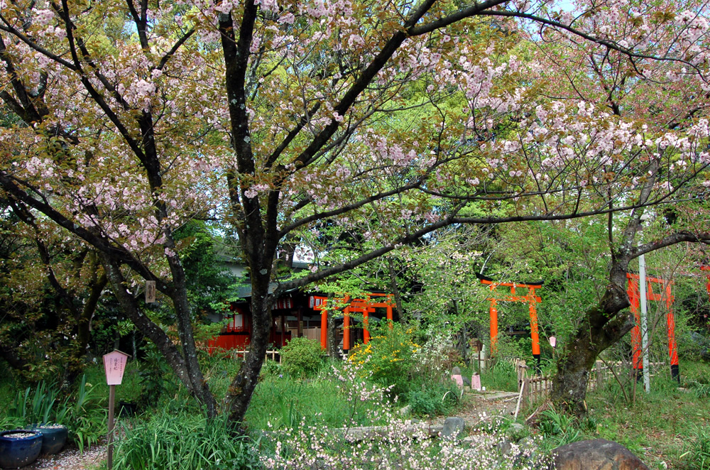 楊貴妃 桜