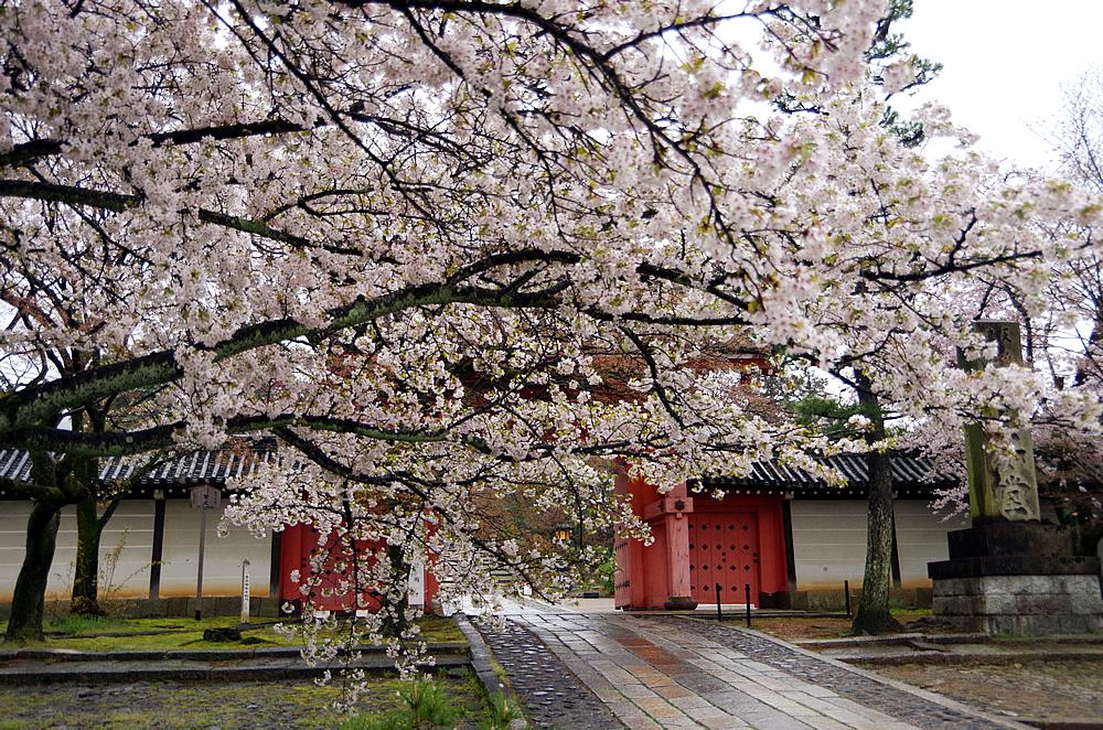 2017年4月8日 真如堂の桜|観光スポット・観光・グルメ情報など、京都情報や観光のことはおまかせ下さい!